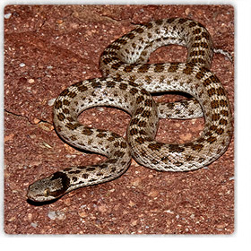 Snakes In Phoenix And Rattlesnakes Of Arizona Safe And Humane