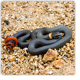 Snakes In Phoenix And Rattlesnakes Of Arizona Safe And