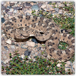 Snakes in Phoenix and Rattlesnakes of Arizona - Safe and